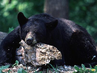 bear_hibernating_lg1