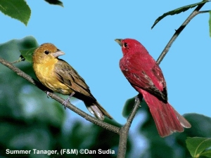 Male and Female Summer tanagers